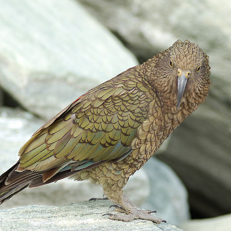 Kea at Mount Aspiring National Park