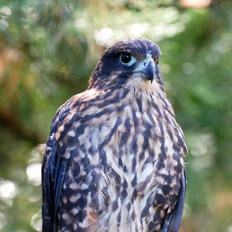 New Zealand falcon, karearea