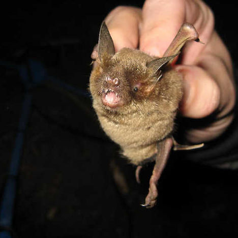Short-tailed bat.