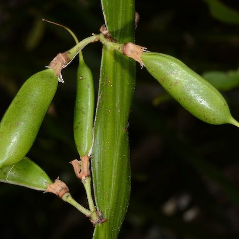 Carmichaelia williamsii young seed pods