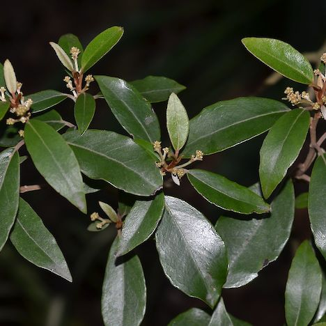 Olearia cheesemanii leaves
