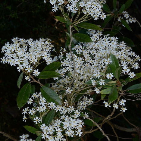 Olearia cheesemanii flowers