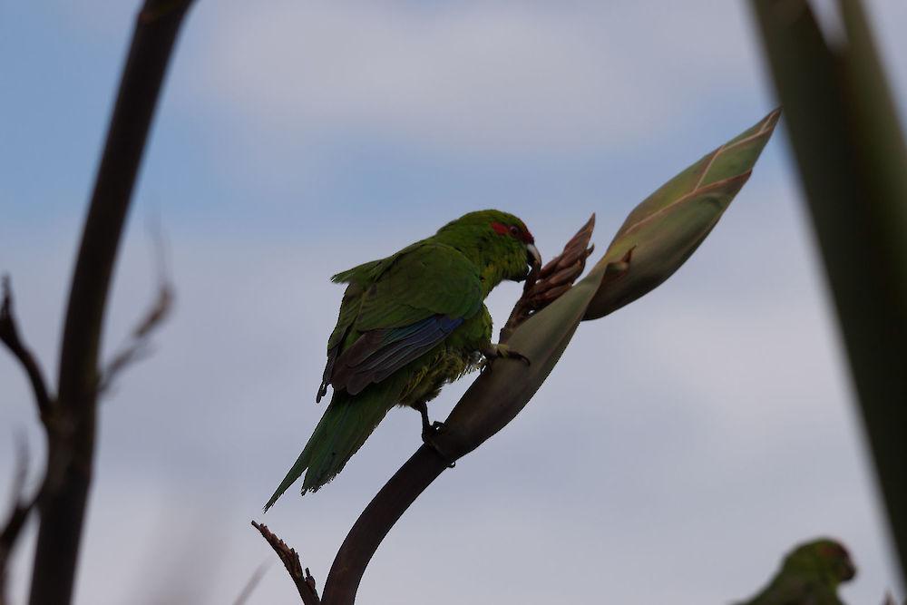 red crowned parakeet cyanoramphus novaezelandiae novaezelandiae