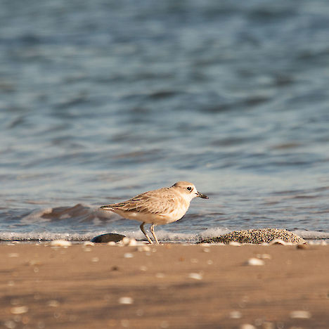 Northern New Zealand dotterel, Coromandel