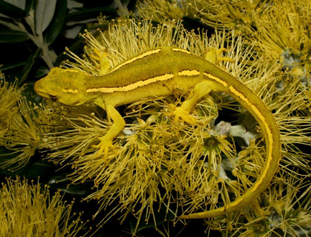 Elegant gecko (Naultinus elegans) • Rare Species