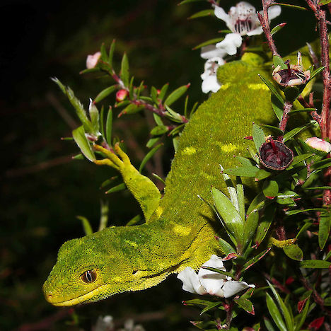 Marlborough green gecko