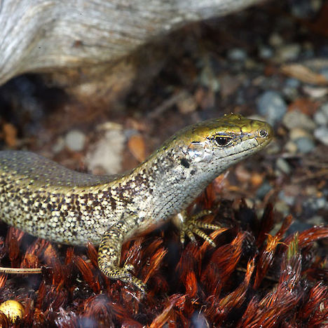 Canterbury Spotted skink